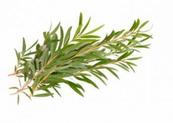 Tea tree. MELALEUCA ALTERNIFOLIA