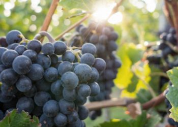 Active principles the key to success: The Grape