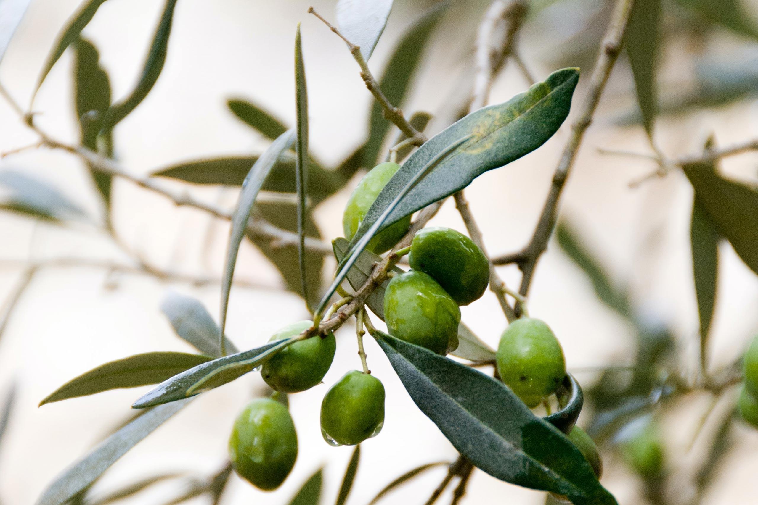 Olive tree sustainability